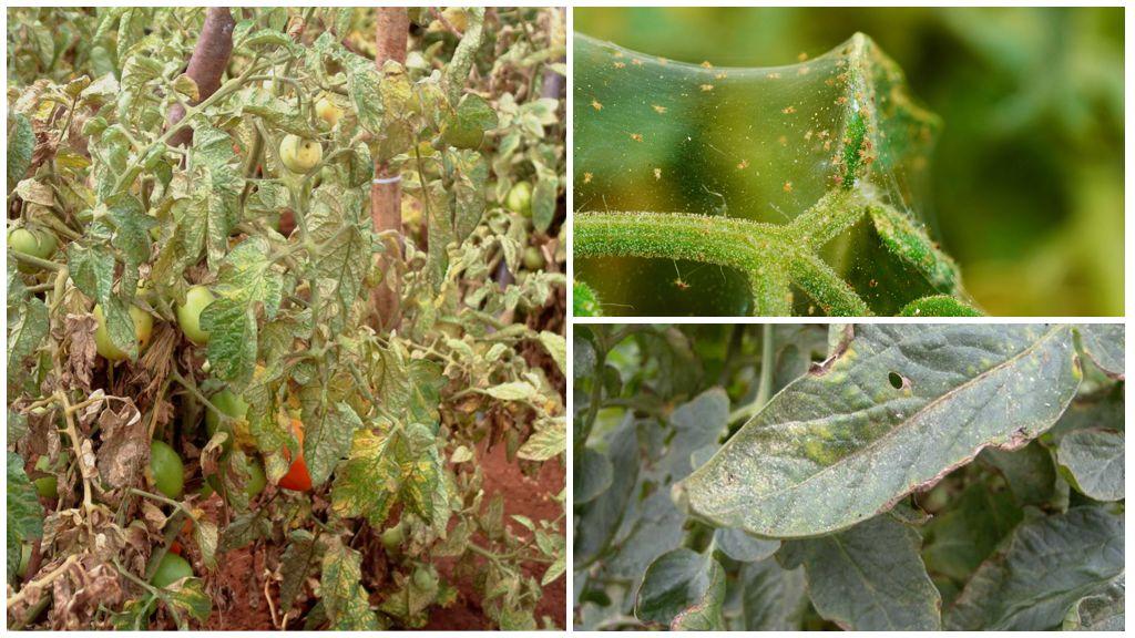 Меры борьбы с паутинным клещом на томатах
