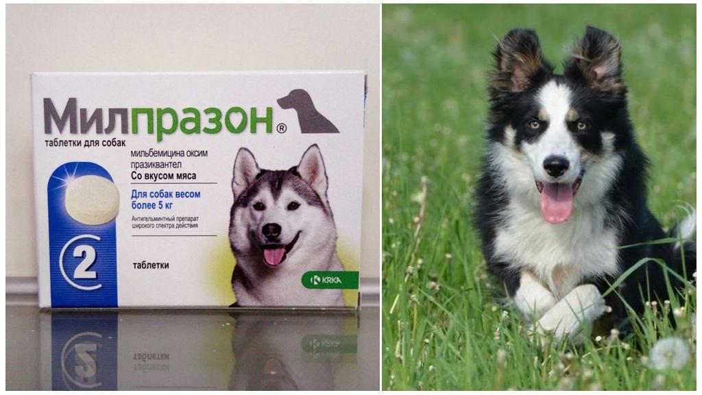Милпразон для собак от глистов
