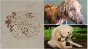 Sarcoptes scabiei у собак