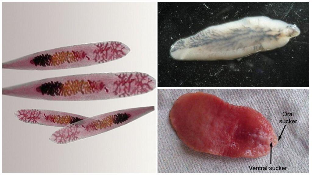 Трематоды-биогельминты