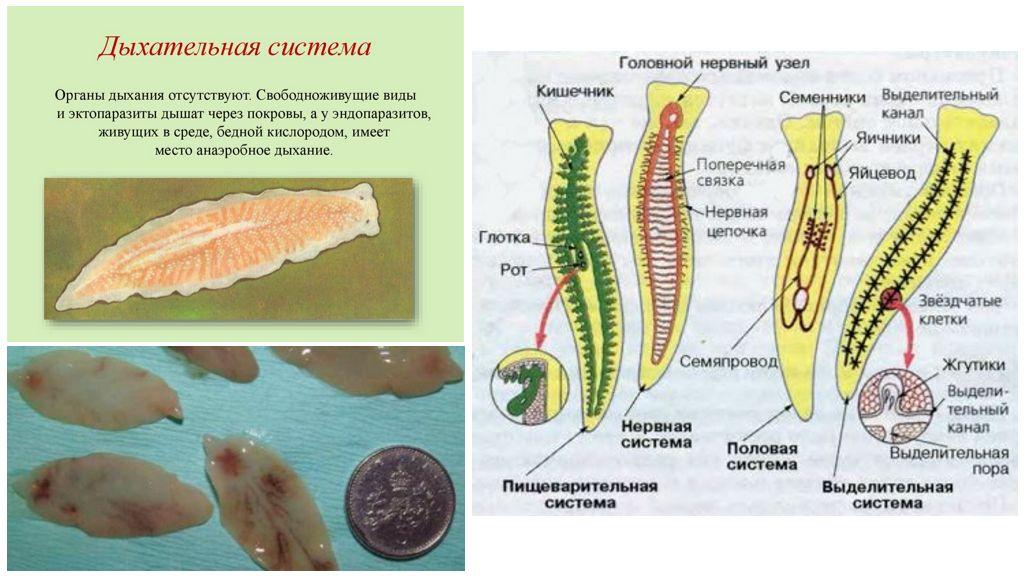 Системы развития плоских червей