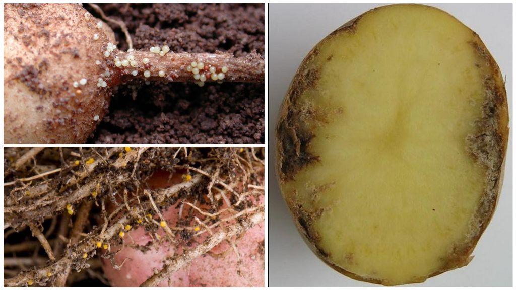 Золотистая картофельная нематода