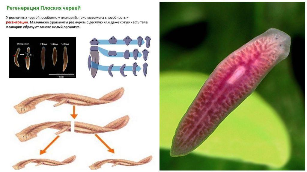 Размножение ресничных организмов