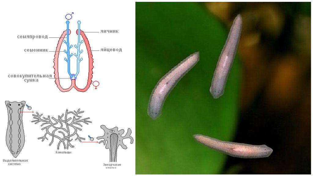 Выделительная система белых червей-хищников