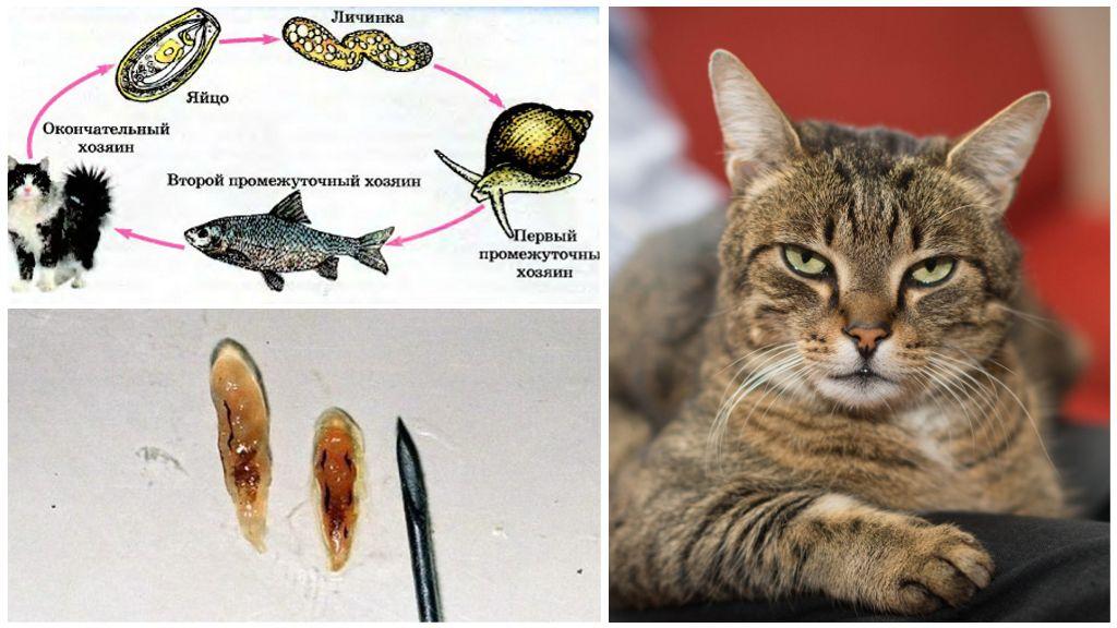 Описторхоз у кошек
