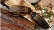 Аргентинский древесный или пятнистый таракан