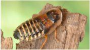Самка аргентинских тараканов