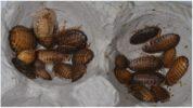 Разведение аргентинских тараканов