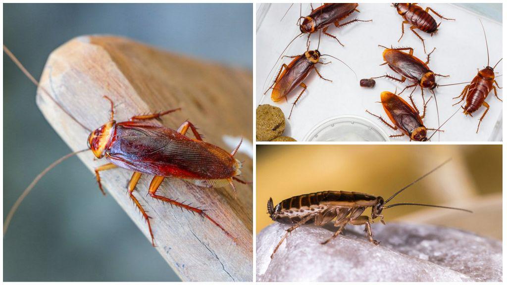 Домашние тараканы