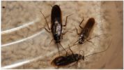 Древесные тараканы
