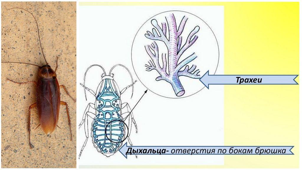 Дыхательная система таракана
