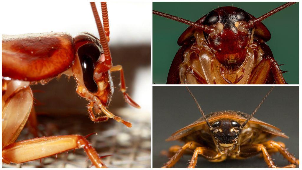 Глаза таракана: описание, строение и фото