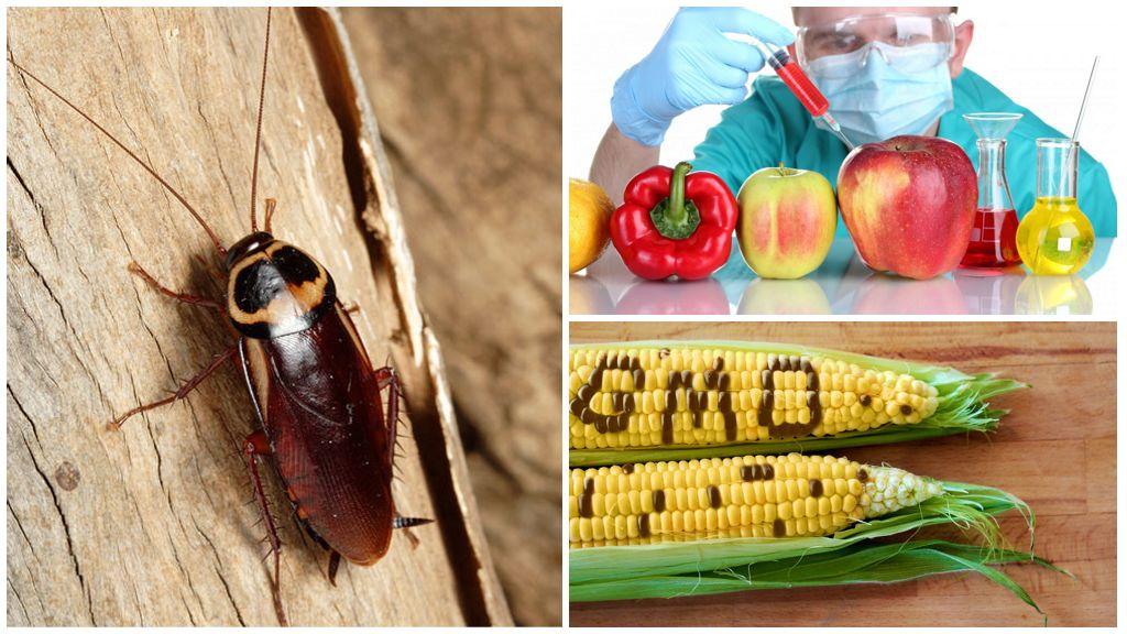 ГМО и тараканы