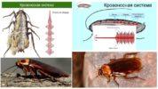 Кровеносная система таракана