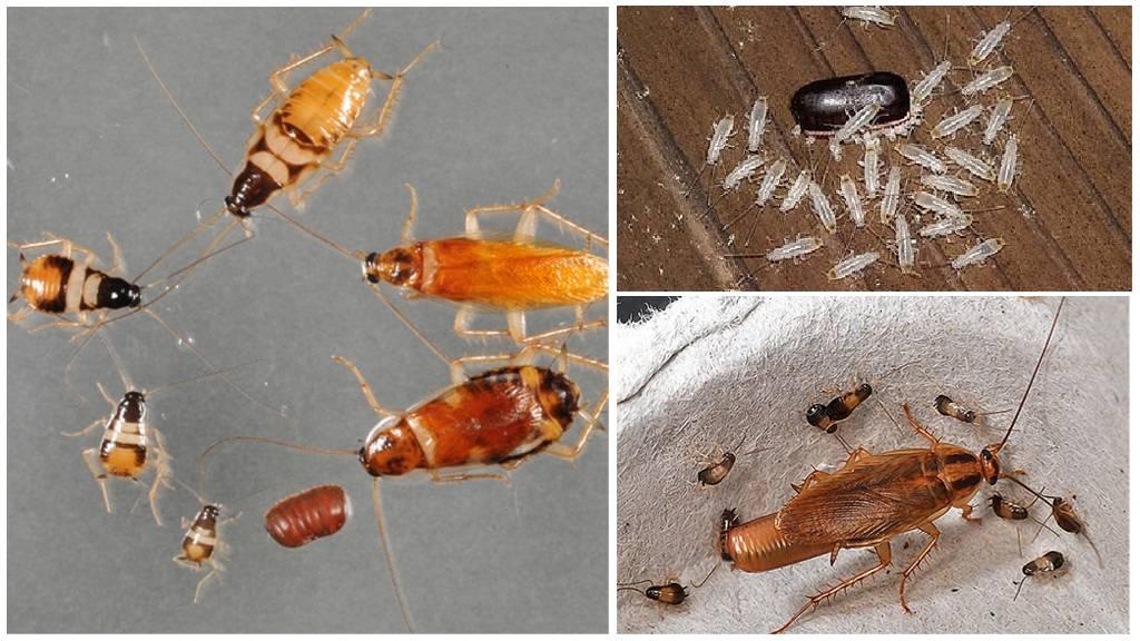 Как выглядят личинки тараканов