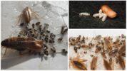 Личиночная стадия тараканов