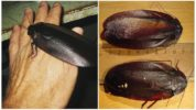 Megaloblatta longipennis