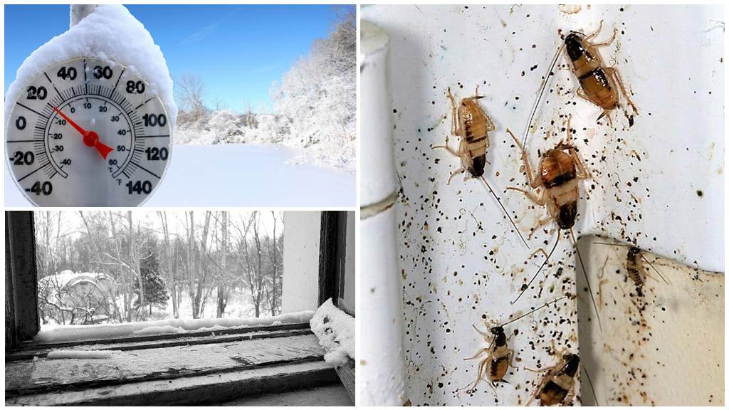 Низкая температура и тараканы