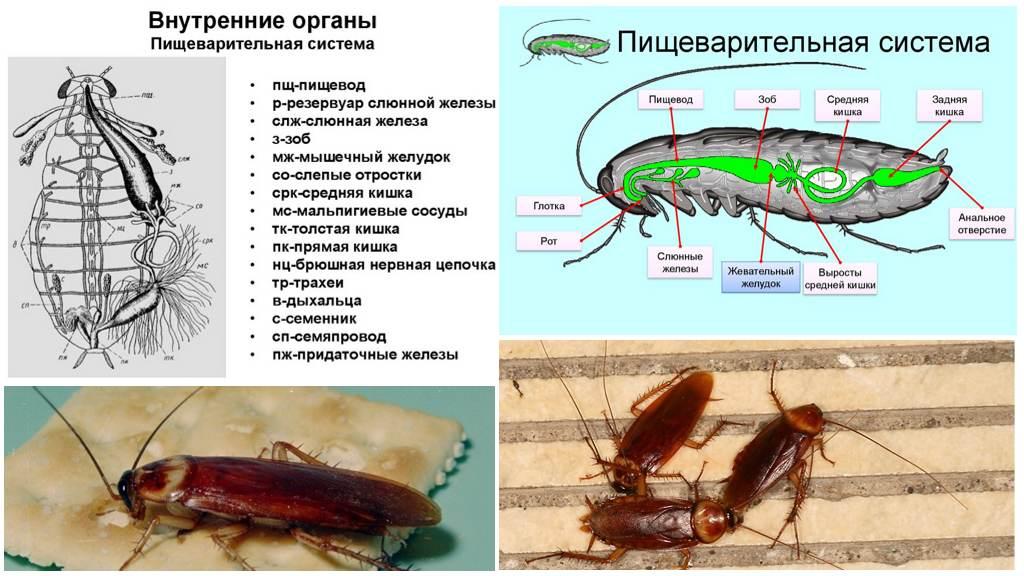 Пищеварительная система таракана