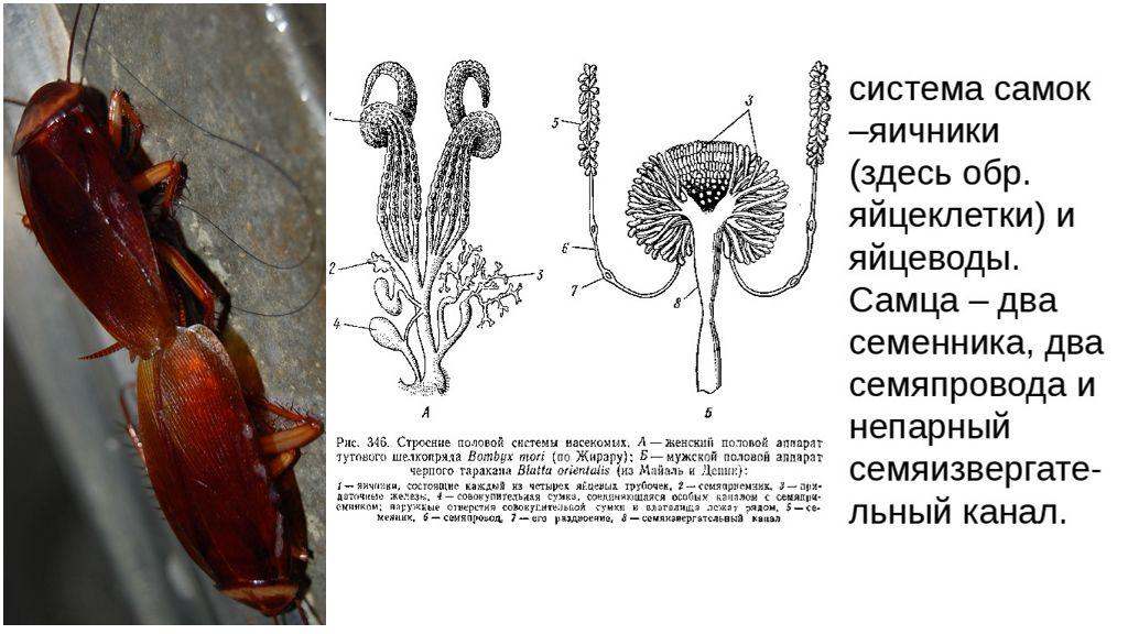 Половая система тараканов
