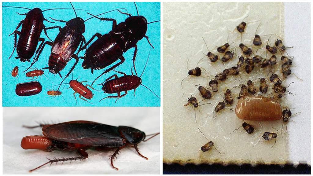 Размножение черных тараканов