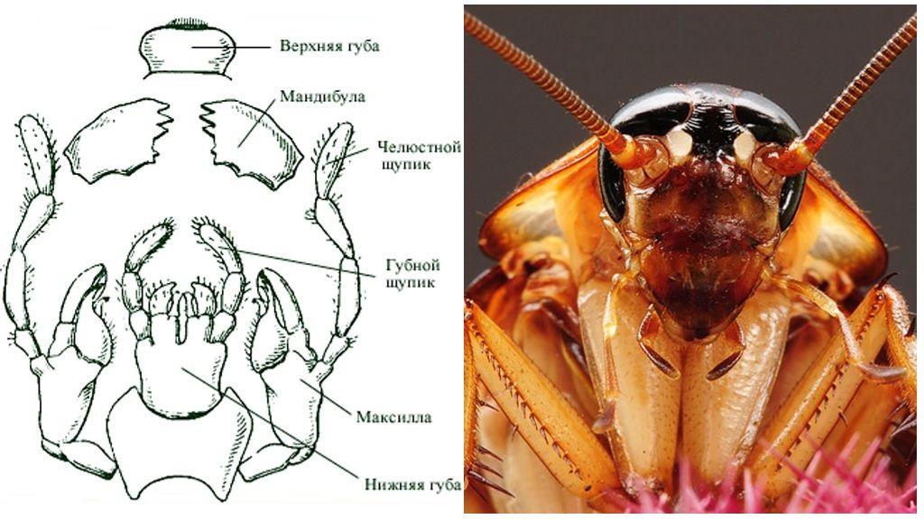 Ротовой аппарат таракана