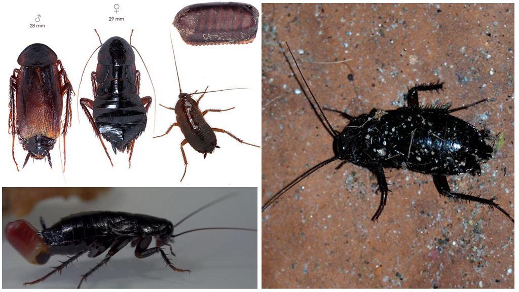Черные канализационные тараканы
