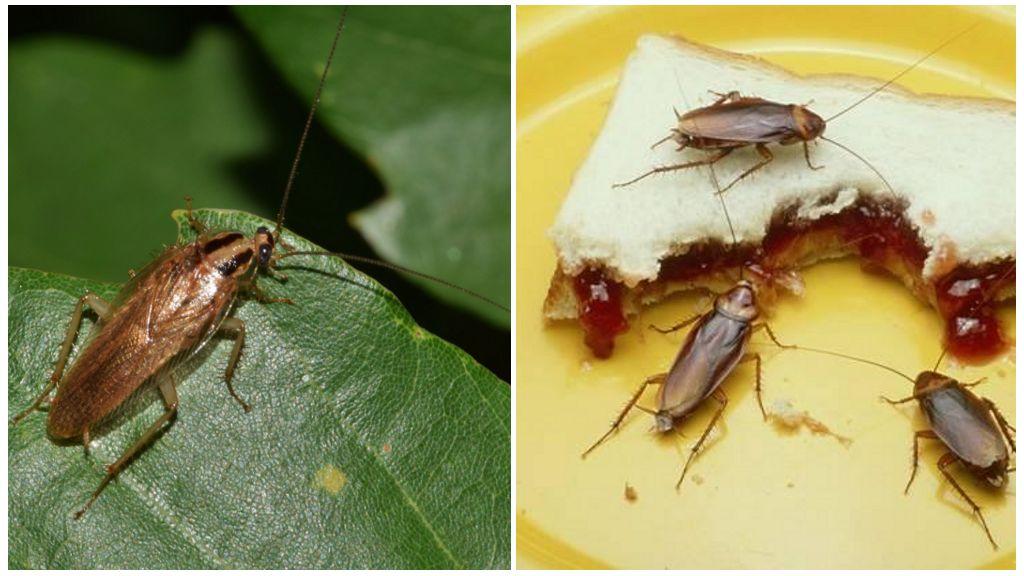 Есть ли польза от тараканов в природе и дома