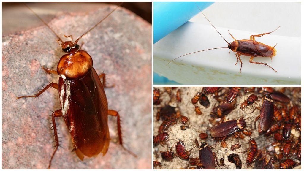 Являются ли тараканы хищниками