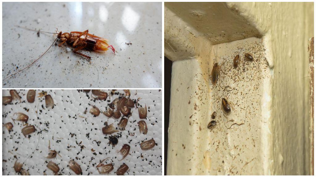 Признаки наличия тараканов