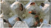 Содержание туркменских тараканов