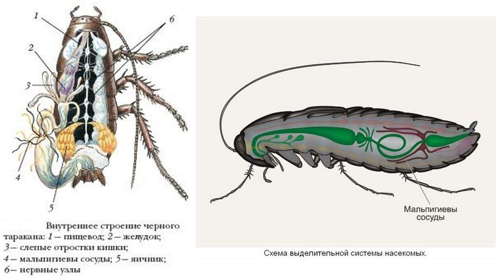 Выделительные органы таракана