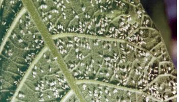 Самые страшные вредители сада и огорода: белокрылка — как избавиться?