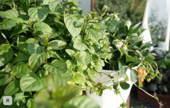 Самые страшные вредители сада и огорода: белокрылка - как избавиться?
