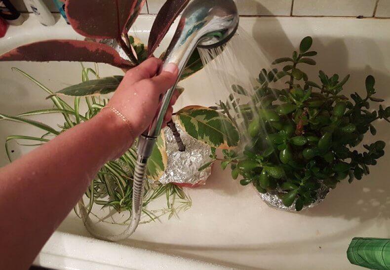 Горячий душ для комнатных растений - что это такое и зачем?
