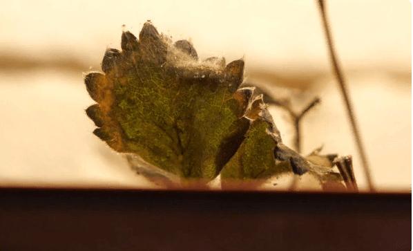 Самые страшные вредители сада и огорода: паутинный клещ - как избавиться?