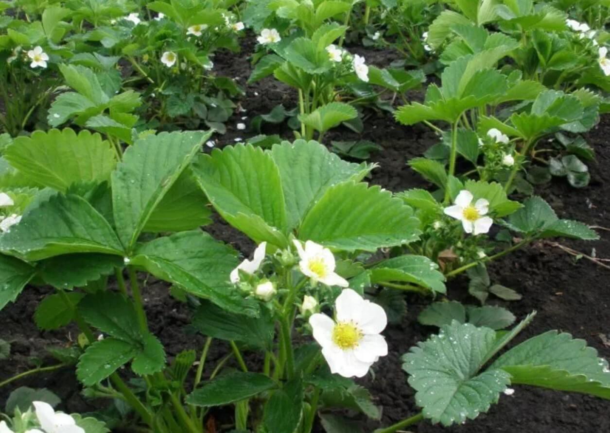 Подкормка клубники для рекордного урожая: правильный вариант весной и при цветении