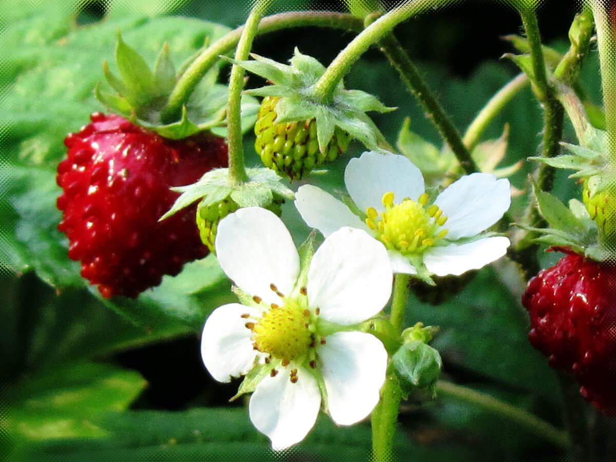 Сердцевинки цветков клубники почернели. Как спасти урожай?