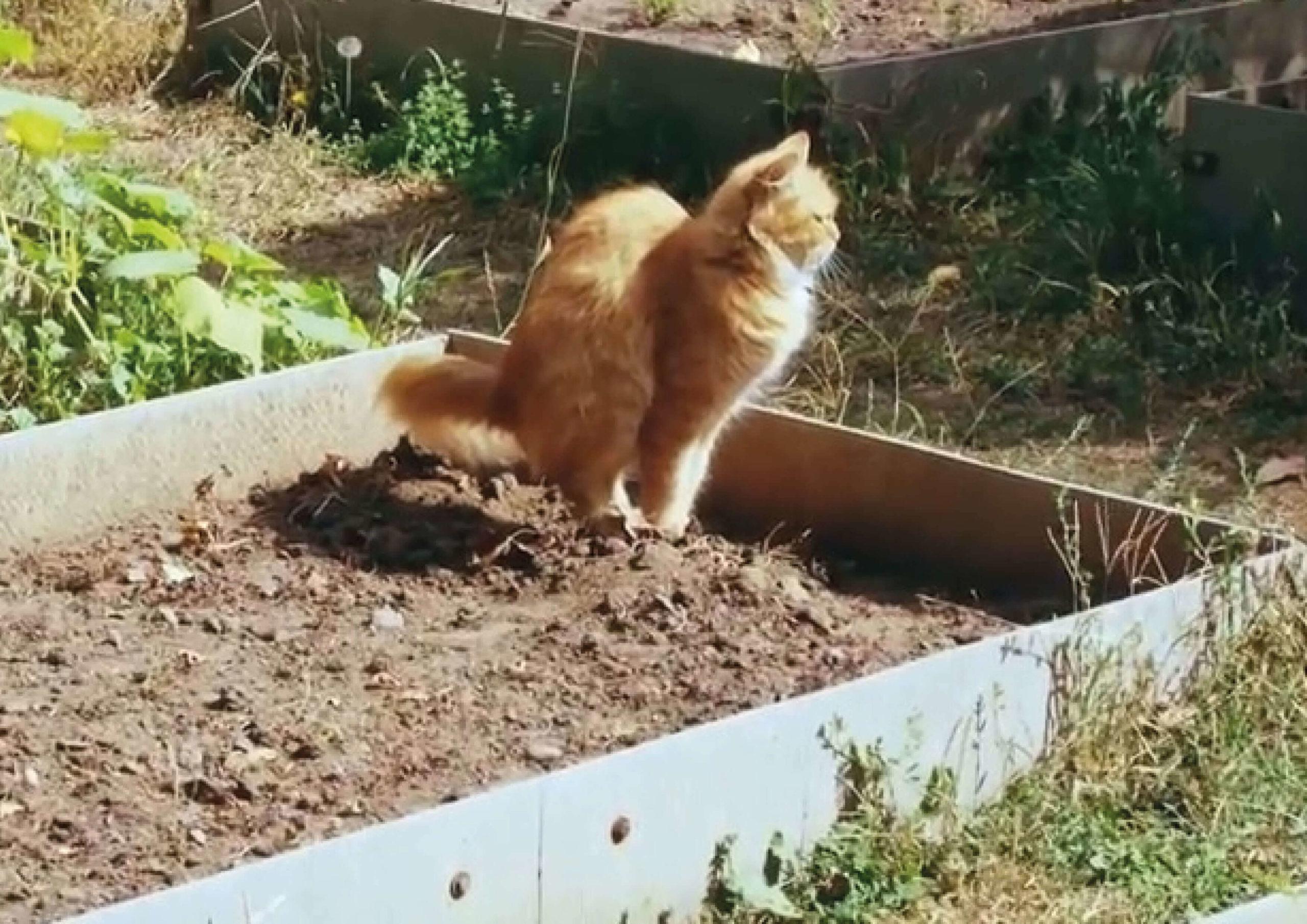 Как отучить котов ходить на ваши любимые грядки в туалет?