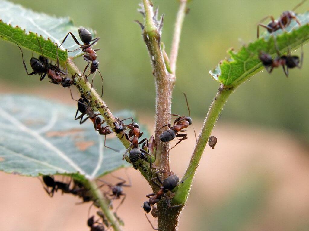 Проверка на деле трех способов борьбы с муравьями. Какой из них оказался самым эффективным?