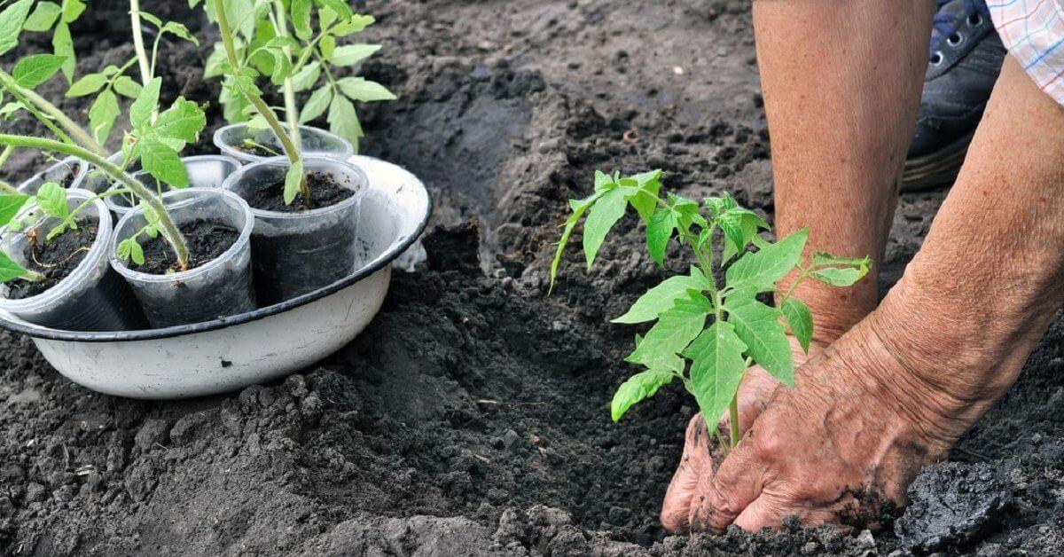 Когда пора высаживать саженцы томатов в грунт?
