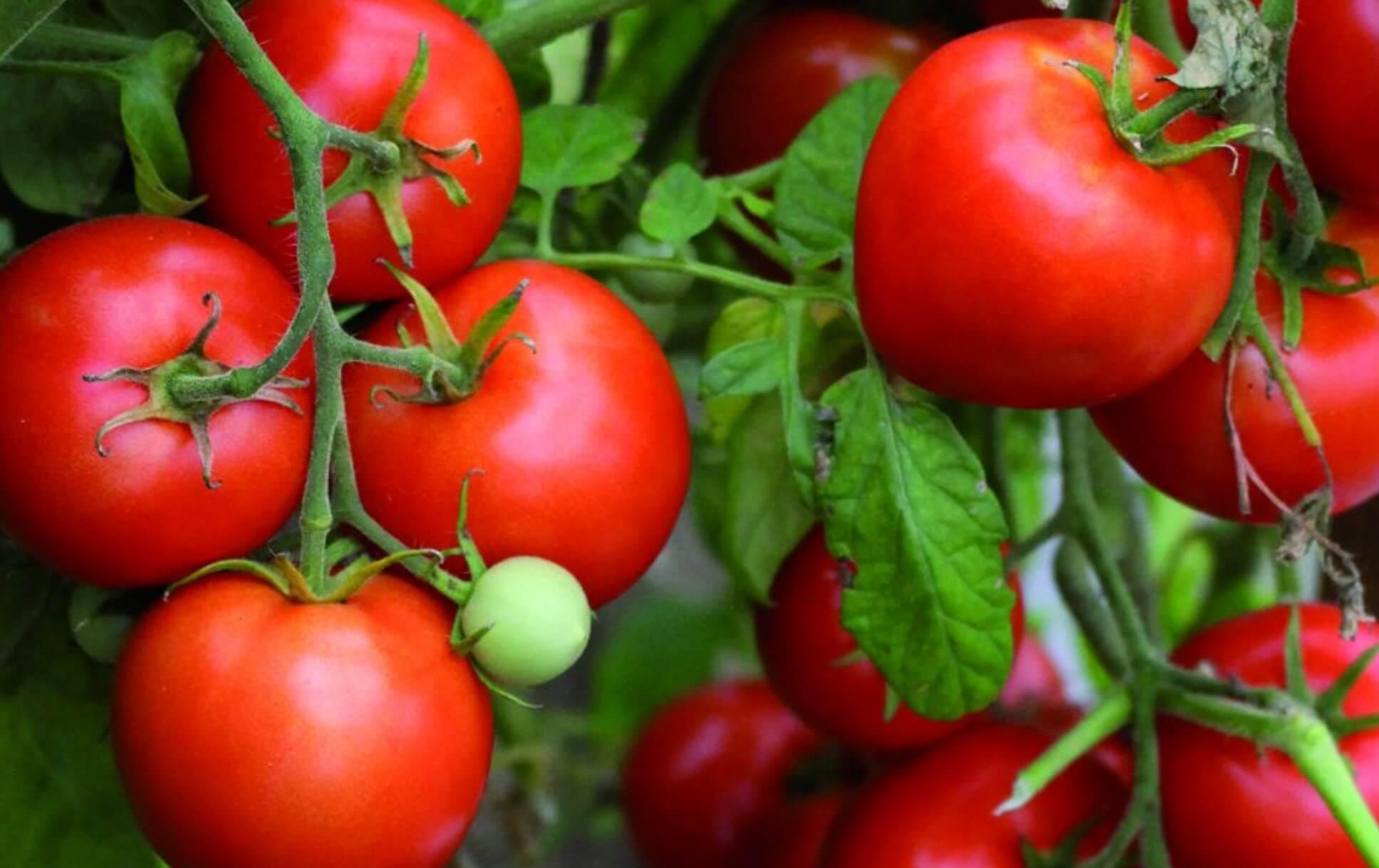 9 секретов гигантского урожая помидор начинаются с посадки