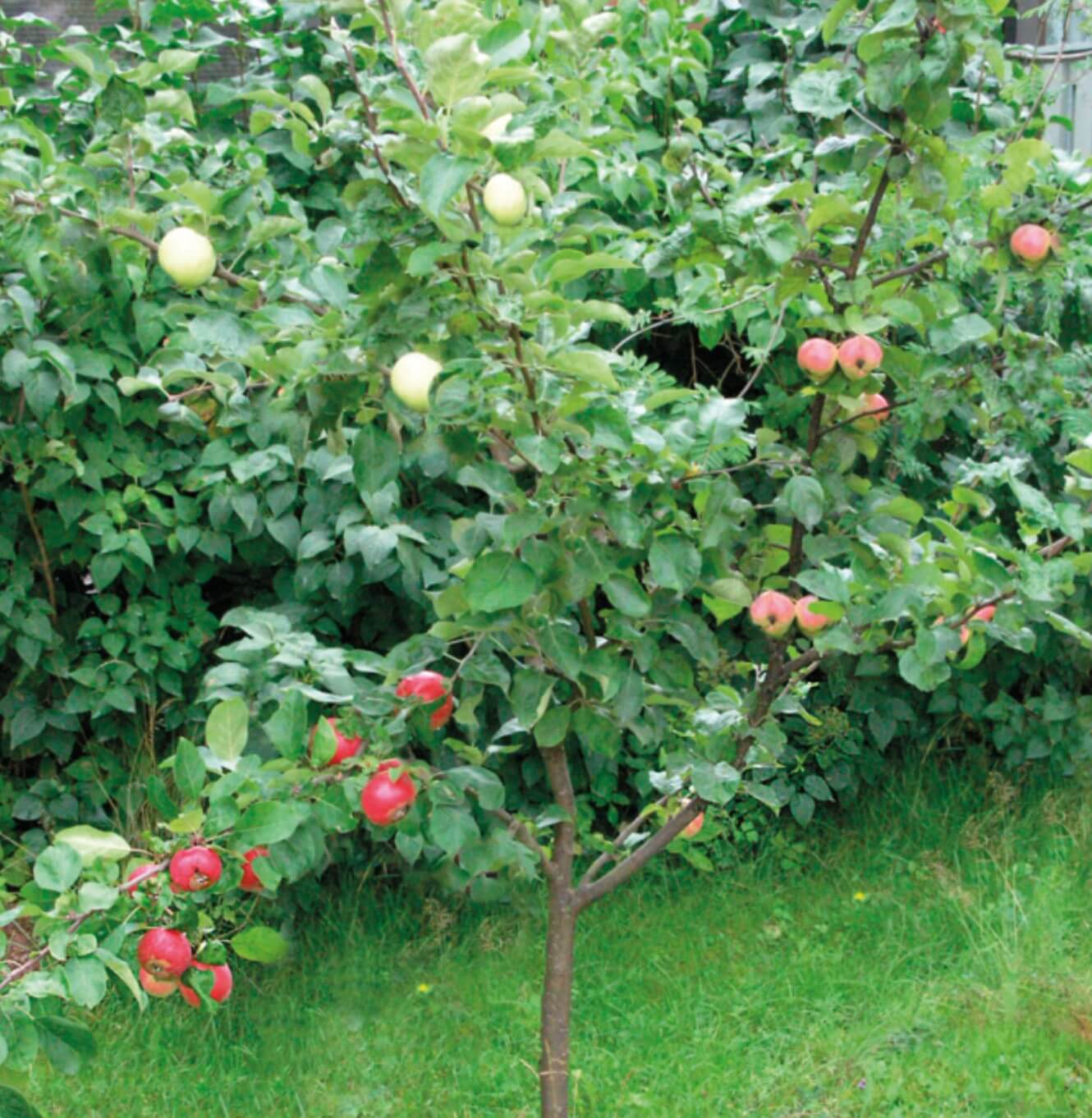 3 сорта яблок на 1 дереве