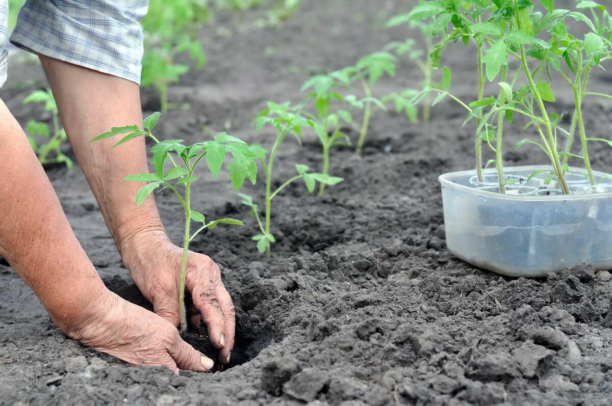 Какое удобрение при пересадке томатов в открытый грунт обещает крупный будущий урожай?