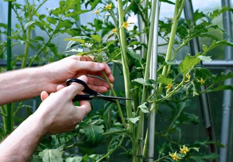 Как правильно формировать томатный куст. Шпаргалка для начинающего дачника