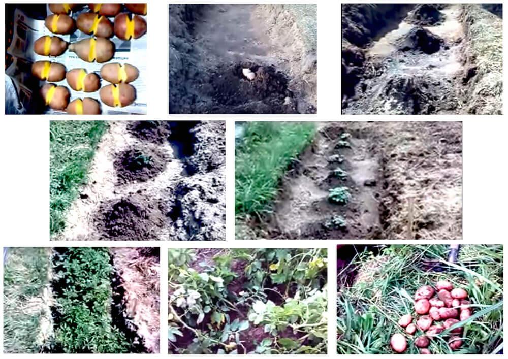 2 ведра с одного куста: китайский метод выращивания картофеля
