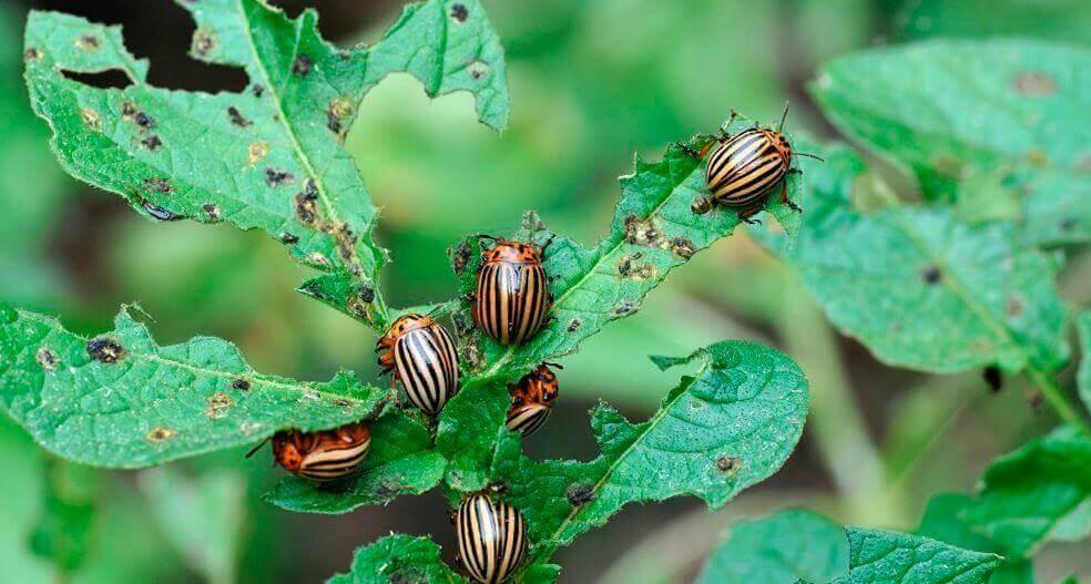 Объявляем атаку колорадского жука! Останутся довольными все: вы и соседи-дачники!