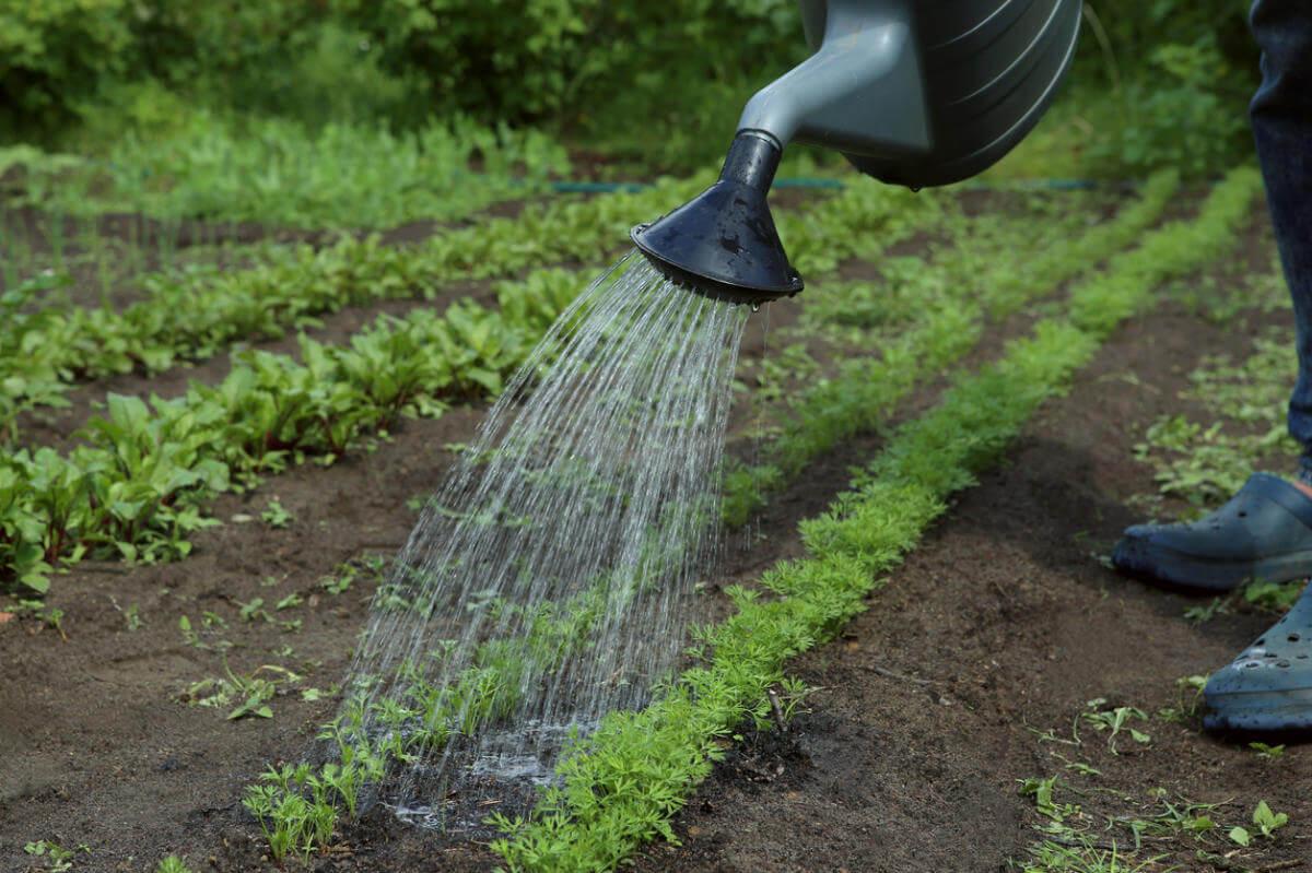 Правильный уход за морковью в начале лета - осенью отличный урожай