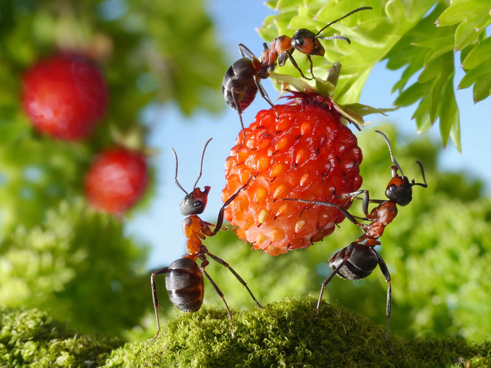 Боремся с муравьями на даче. И одно наблюдение