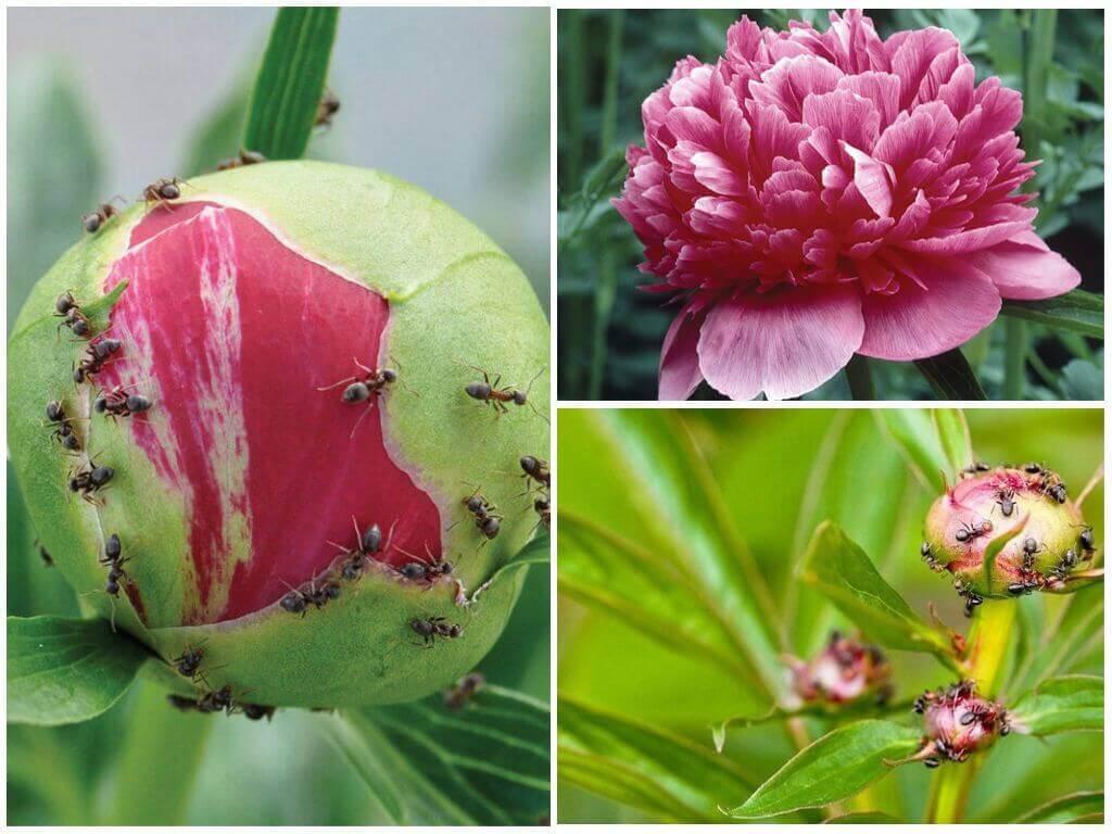 Спасаем пионы от муравьев. Совет опытного цветовода